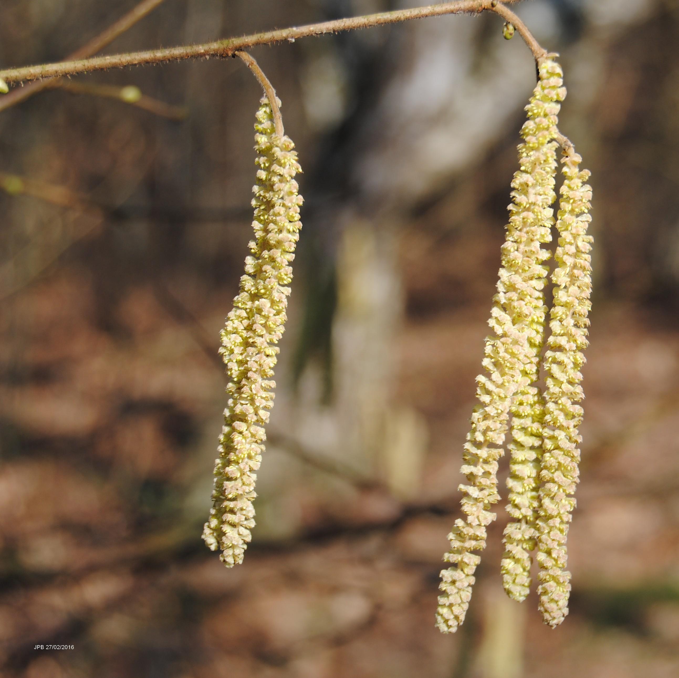 Noisetier Corylus Avellana Une Floraison Hivernale Actualites De